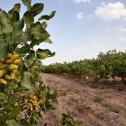 iran pistachio rafsanjan