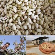The pistachio company in iran