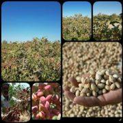 pistachio import export