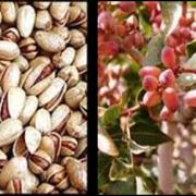 biggest exporter of pistachios