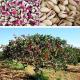 persian pistachio nuts