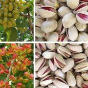 pistachio nuts wholesale price