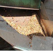 raw pistachios for sale bulk