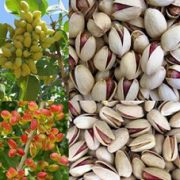 Persian pistachios for sale bulk