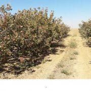 iran pistachio production