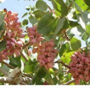 pistachio producers iran