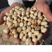 aflatoxin in pistachio nuts