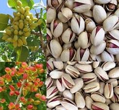 pistachio bulk price