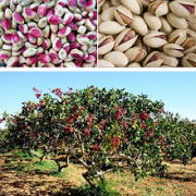 pistachio to buy bulk