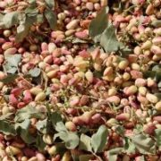 pistachio export from Iran