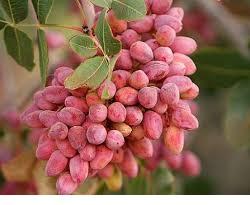 buy pistachios from iran in bulk