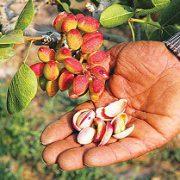 pistachio shells for sale